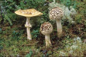 Rauschpilze-Magic-Mushrooms